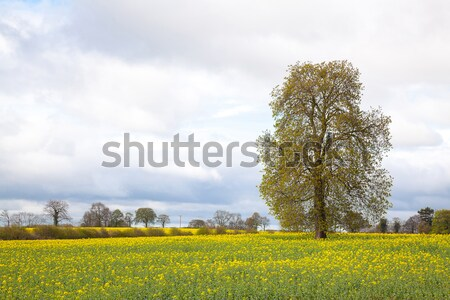 yellow Canola oilseed flower Field Stock photo © vichie81