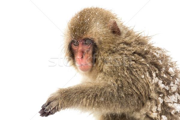 Japanese Snow Monkey Stock photo © vichie81