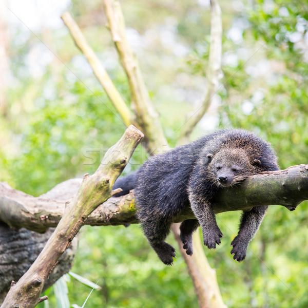 binturong bearcat sleeping Stock photo © vichie81