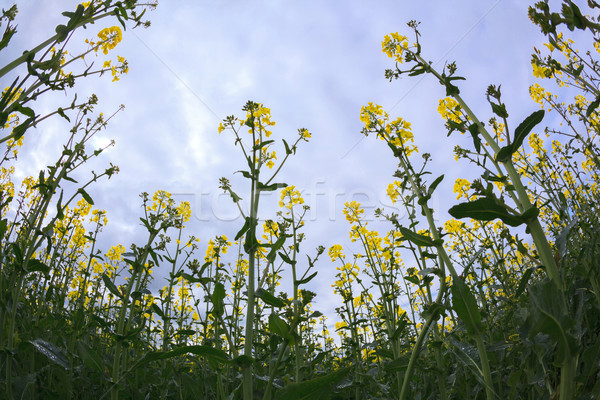 Canola oil seed Stock photo © vichie81