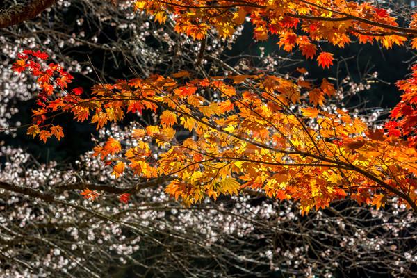 Stock fotó: ősz · piros · búcsú · sakura · textúra · erdő