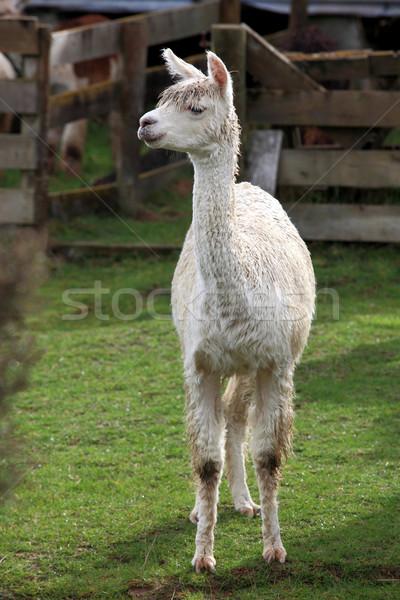 lama in farm Stock photo © vichie81