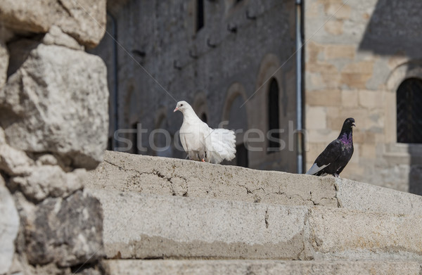 white black pigeons Stock photo © vilevi