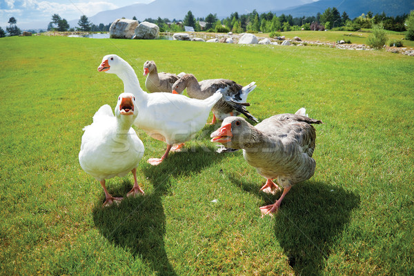 gang geese attack anger Stock photo © vilevi