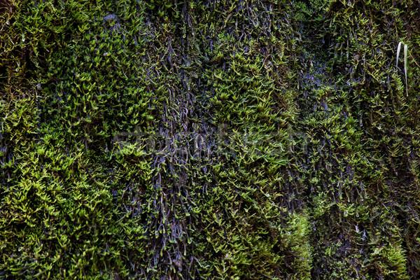 Mokro zielone mech wody poziomy obraz Zdjęcia stock © vilevi