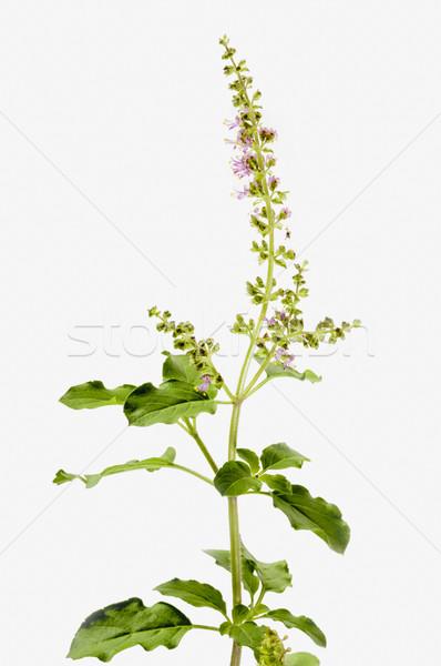 Basilic fleurs vert laisse usine Photo stock © vinodpillai
