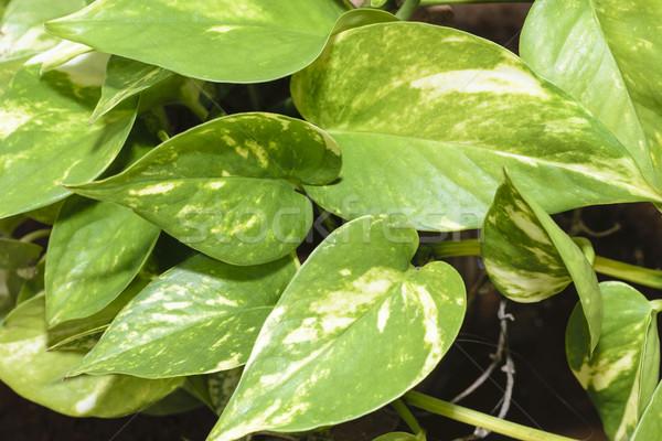 Klimop geld plant blad groene tropische Stockfoto © vinodpillai