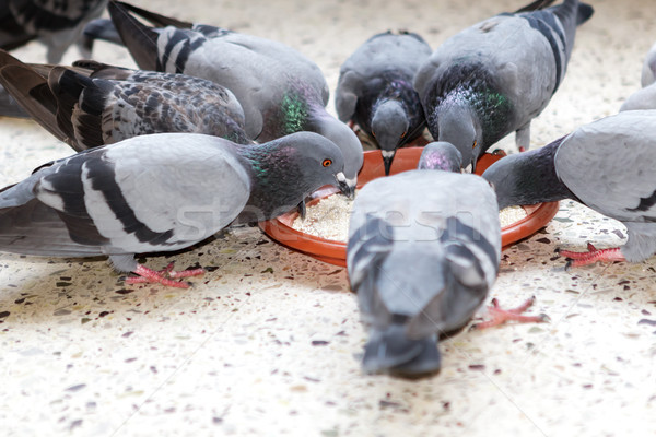 Group of pigeons sharing their feed from a plate Stock photo © vinodpillai