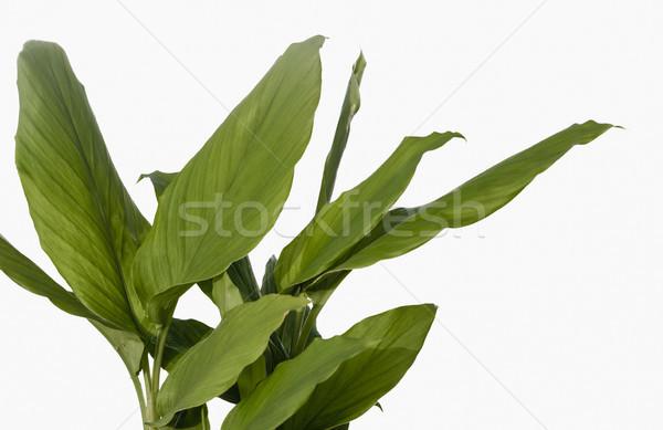 Laisse blanche usine légumes fraîches saine Photo stock © vinodpillai