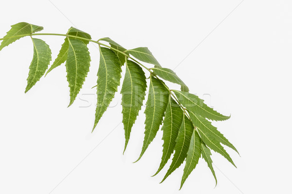 Neem (Margosa) leaves Stock photo © vinodpillai