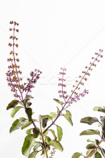 Krisna fekete szent bazsalikom lila levél Stock fotó © vinodpillai