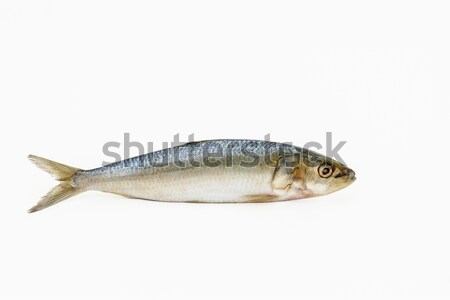 Single Sardine fish Stock photo © vinodpillai