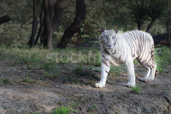 white tiger on evening stroll Stock photo © vinodpillai