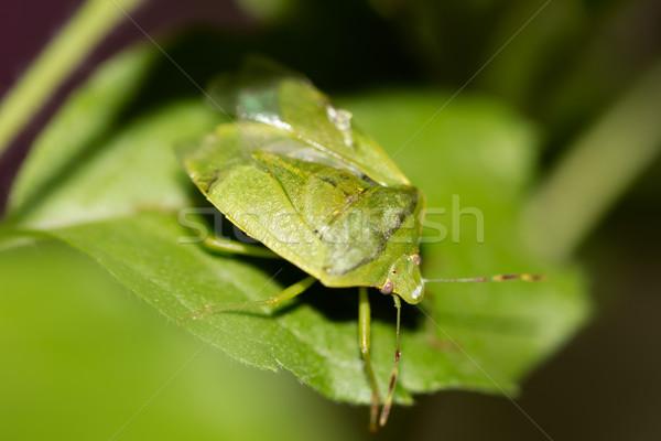 Zöld pajzs rovar közelkép bazsalikom levél Stock fotó © vinodpillai
