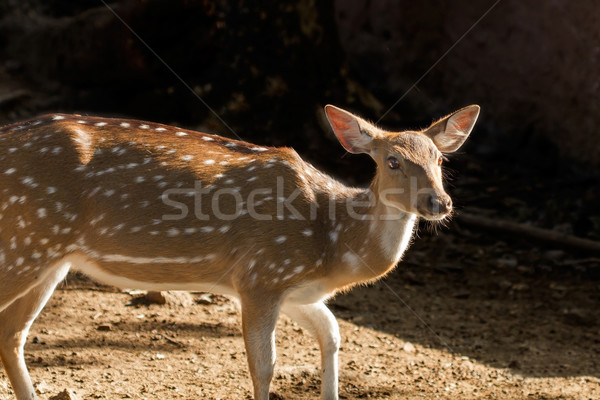 Single Spotted Deer Stock photo © vinodpillai
