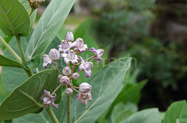 Wild Crown Flowers  Stock photo © vinodpillai