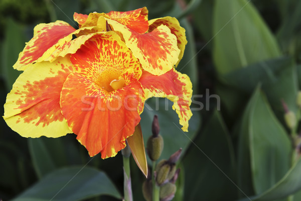 Orange Canna Flower Stock photo © vinodpillai