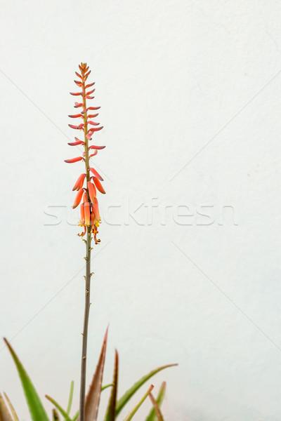 Bloei aloë plant oranje bloemen tuin Stockfoto © vinodpillai