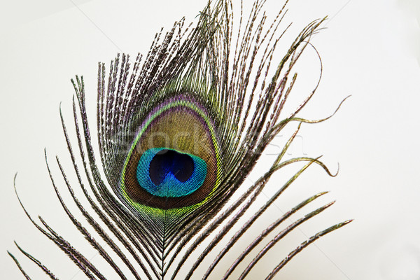 Pavão pena branco abstrato pássaro verde Foto stock © vinodpillai