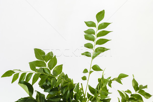 Fresh curry leaves Stock photo © vinodpillai