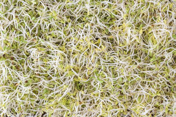 Alfalfa sprouts Stock photo © vinodpillai