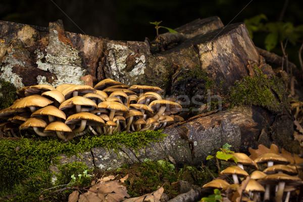 Mushrooms near cut tree in the shade Stock photo © viperfzk