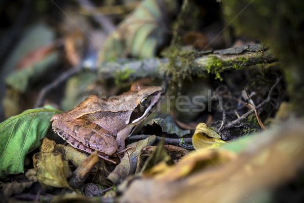 Common frog in natural habitat Stock photo © viperfzk