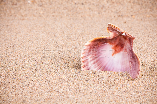 Eenzaam zanderig roze zee shell Stockfoto © viperfzk