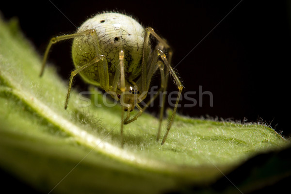 Cool spider with huge textured abdomen Stock photo © viperfzk