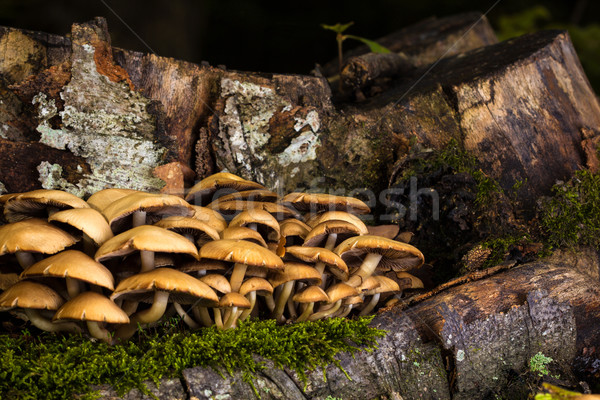 Mushrooms and tree stump Stock photo © viperfzk