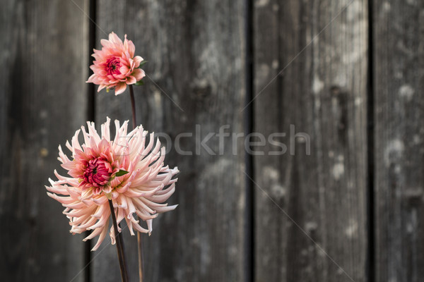 Pink red flower with wooden fence background Stock photo © viperfzk