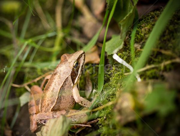 Common frog amongst green grass Stock photo © viperfzk