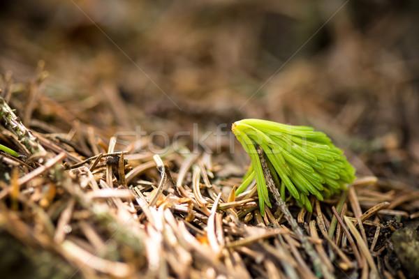 Kicsi fenyőfa fenyő erdő föld fa Stock fotó © viperfzk