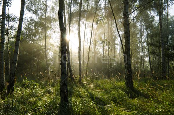 Berk bos achtergrondverlichting boom hout landschap Stockfoto © visdia
