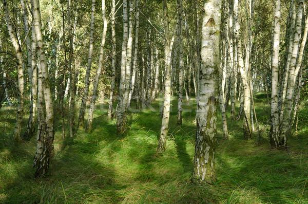 Berk bos hout landschap bomen zomer Stockfoto © visdia