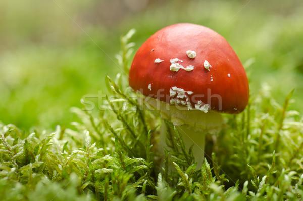 Mos vergiftige paddestoel bos champignons natuurlijke gelukkig Stockfoto © visdia
