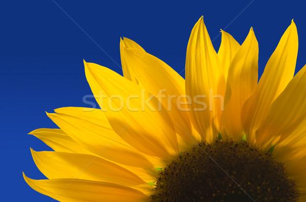 Sunflower against a blue background Stock photo © visdia