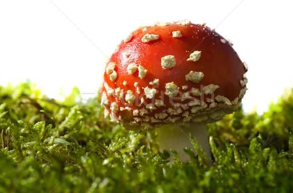 Mérges gomba fehér erdő gombák természetes szerencsés Stock fotó © visdia