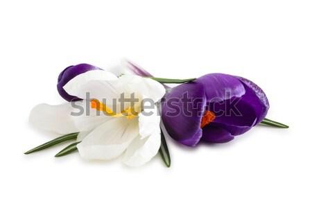Bahar çiçekleri atış beyaz mor yalıtılmış Stok fotoğraf © Vitalina_Rybakova