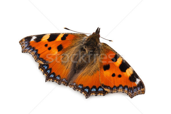 Butterfly (Small tortoiseshell). Stock photo © Vitalina_Rybakova