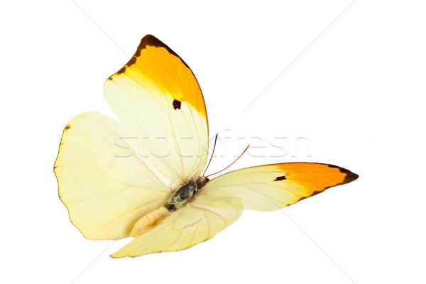 蝶 ショット 飛行 孤立した 白 ストックフォト © Vitalina_Rybakova