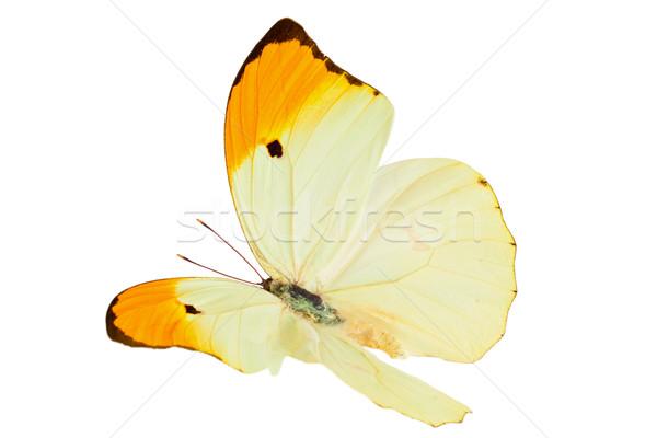Butterfly (Anteos Menippe). Stock photo © Vitalina_Rybakova