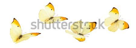 Geel vlinders shot vliegen geïsoleerd Stockfoto © Vitalina_Rybakova