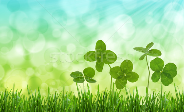 Close-up shot of four-leaf clovers in a field. Stock photo © Vitalina_Rybakova