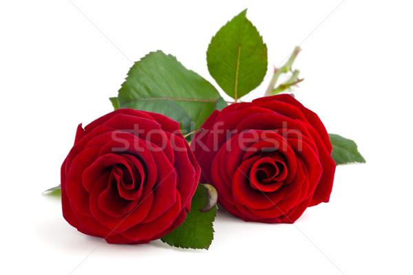 Twee rode rozen Rood rose geïsoleerd witte voorjaar Stockfoto © Vitalina_Rybakova