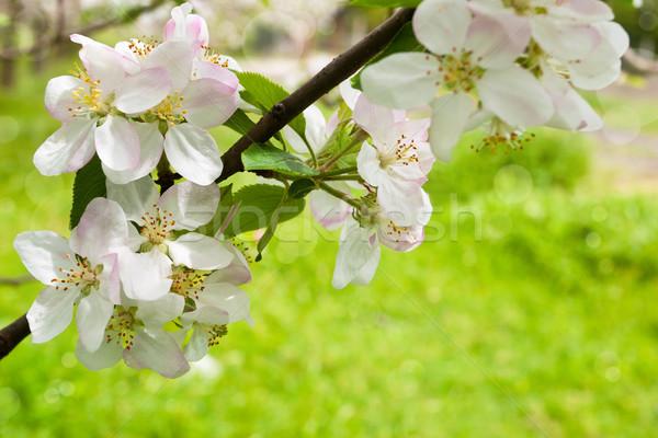 Elma çiçek elma ağacı çiçekler güneşli bahar Stok fotoğraf © Vitalina_Rybakova