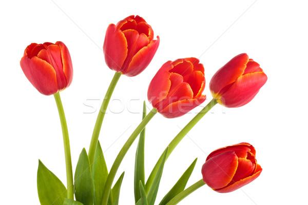 Virágcsokor piros tulipánok közelkép lövés izolált Stock fotó © Vitalina_Rybakova