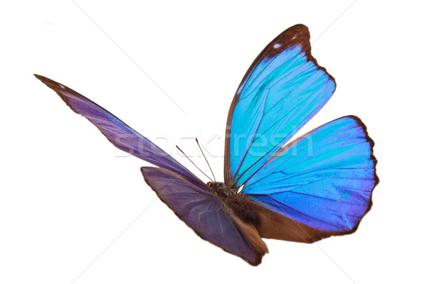 Blue tropical butterfly. Stock photo © Vitalina_Rybakova