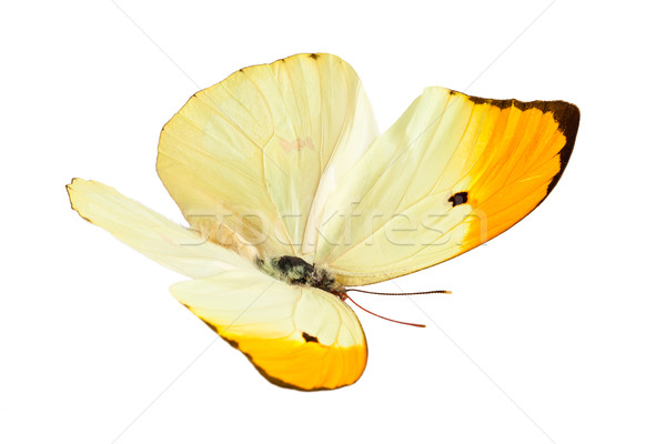Stockfoto: Vlinder · shot · vliegen · geïsoleerd · witte