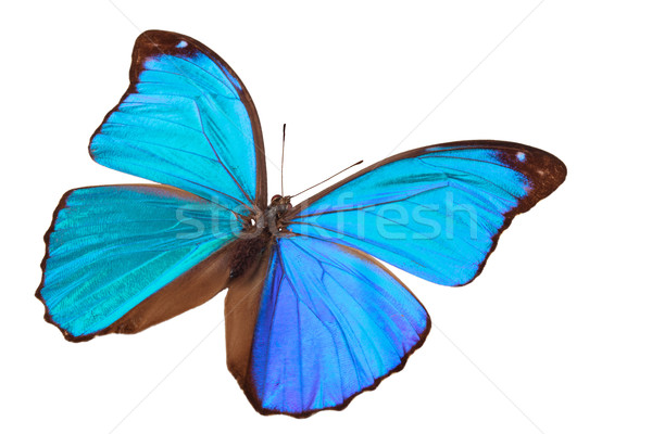 Blue butterfly. Stock photo © Vitalina_Rybakova